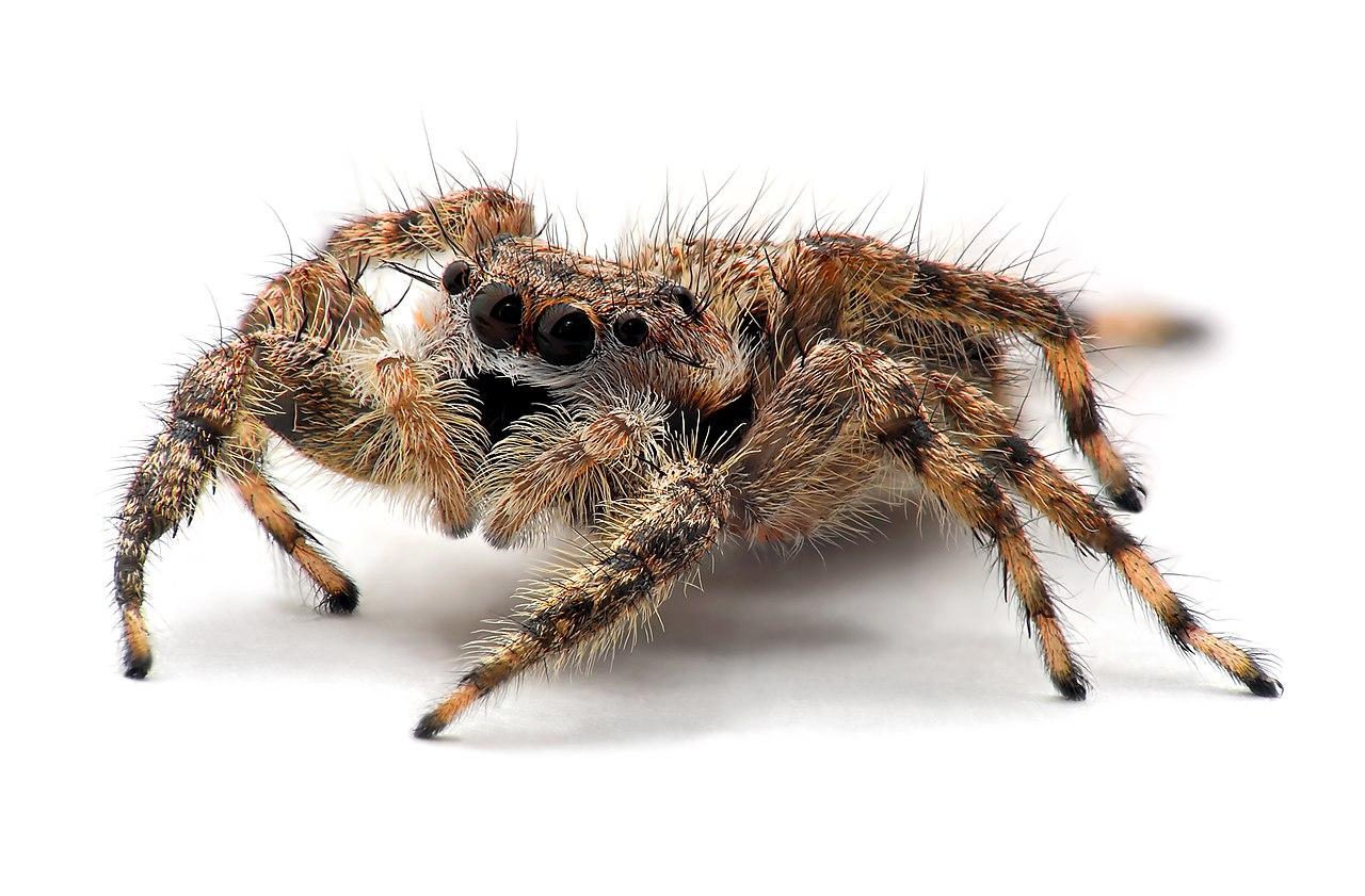Spider anatomy - Wikiwand