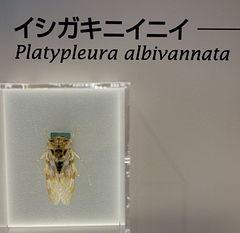 240px platypleura albivannata   national museum of nature and science, tokyo   dsc07090