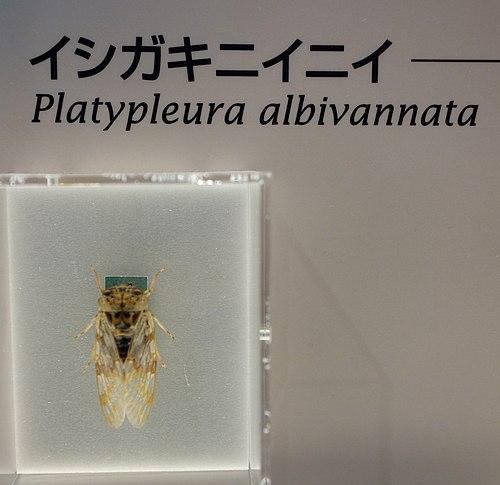 500px platypleura albivannata   national museum of nature and science, tokyo   dsc07090