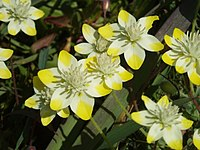 Platystemon californicus (1)