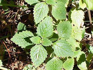 Plectranthus parviflorus - P. parviflorus at Eastwood, New South Wales, Australia