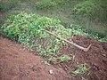 Plectranthus rotundifolius DSCN0614.jpg
