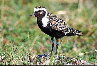 British Birds Rarities Committee - American golden plover, one member of a closely related and difficult-to-identify species pair