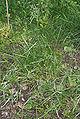 Poa pratensis (Veldbeemdgras).jpg