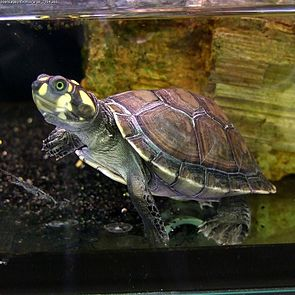 Terekay-Schienenschildkröte (Podocnemis unifilis)