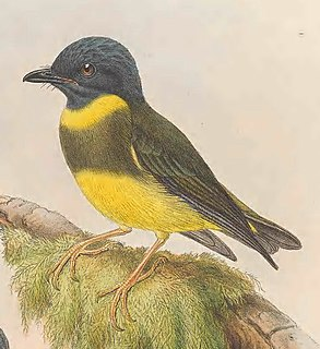 Banded yellow robin Species of songbird native to New Guinea