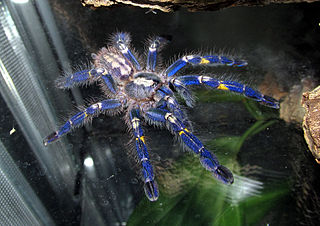 <i>Poecilotheria metallica</i> Species of spider