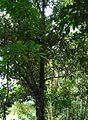 Pohon cempedak (2).JPG