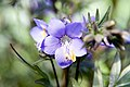 Polemonium Bressingham Purple 3zz.jpg