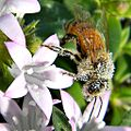Pollen Dusted Bee (11027119186).jpg