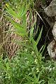Polygonatum verticillatum PID888-1.jpg