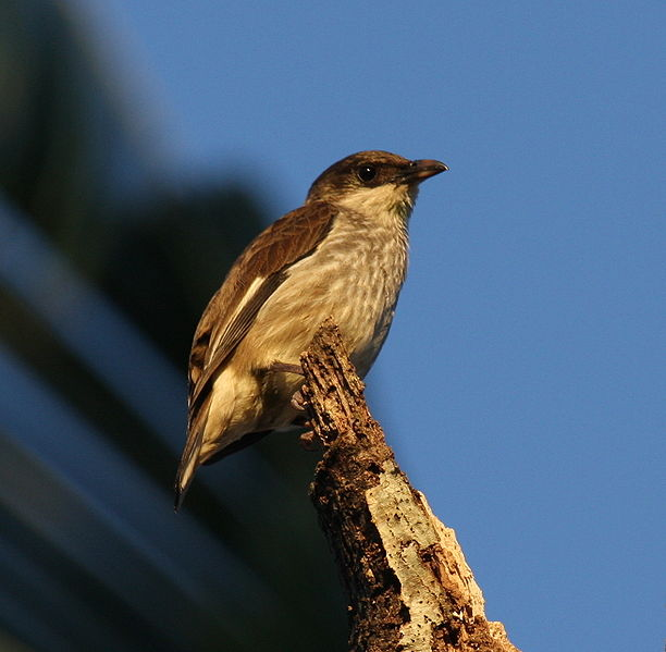 File:Polynesian starling matei jun08.JPG