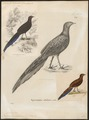 Polyplectron chalcurum - 1700-1880 - Print - Iconographia Zoologica - Special Collections University of Amsterdam - UBA01 IZ16900197.tif