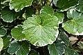 Polyscias balfouriana 2840.jpg
