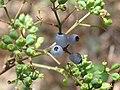 Polyscias sambucifolia.jpg