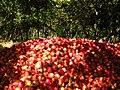 Pomegranate .jpg