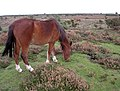 Pony grazing on a bowl barrow, Hatchet Moor, New Forest - geograph.org.uk - 69290.jpg