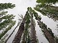 Poplar Trees of Hunza Valley.jpg