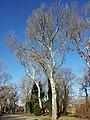 Populus alba sl5.jpg