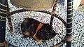 Porquinho-da-índia abissínio.jpg