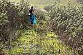 Portugal - Algarve - Alcalar - Ann in hooped petticoat daffodils (25600428200).jpg