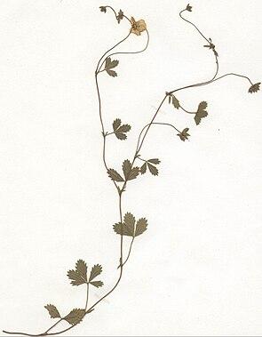 Niederliegendes Fingerkraut (Herbarbeleg)  (Potentilla anglica agg.)