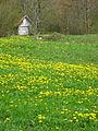 Povlen - zapadna Srbija - mesto Zarožije - Na putu ka Crvenim stjenama - Polje maslačka 3.jpg