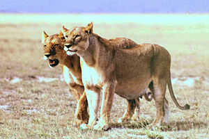 A pregnant lioness (right)
