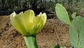 Prickly Pear flower (10869180176).jpg