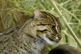 Fishing cat - Fishing cat at the Cincinnati Zoo