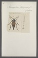 Prionapterus - Print - Iconographia Zoologica - Special Collections University of Amsterdam - UBAINV0274 032 03 0004.tif
