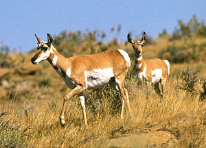 Pronghorn antelope on the Fort Keogh rangeland.