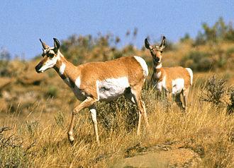 Fort Keogh - Pronghorn antelope on the Fort Keogh rangeland