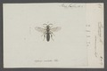 Prosopis - Print - Iconographia Zoologica - Special Collections University of Amsterdam - UBAINV0274 045 05 0008.tif