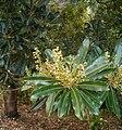 Protorhus longifolia KirstenboschBotGard09292010B.jpg