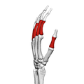Proximal phalanges of the hand (left hand) 04 radial view.png