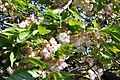 Prunus Sato-Zakura 'Shirotae' in the Jardin des Plantes, Paris 004.JPG