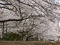 Prunus sp in Takaoka Kojo Park 03.jpg