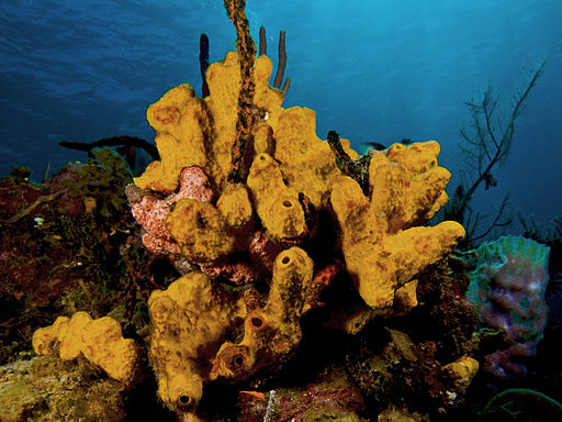 Psedoceratina crassa (Branching Tube Sponge - yellow variation)