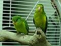 Psilopsiagon aurifrons -two captive-8a.jpg