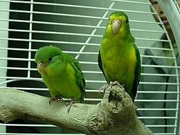 Psilopsiagon aurifrons -two captive-8a