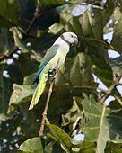 A white parrot with green-blue wings, a yellow tail, and a grey collar