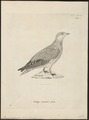 Pterocles coronatus - 1700-1880 - Print - Iconographia Zoologica - Special Collections University of Amsterdam - UBA01 IZ16900021.tif