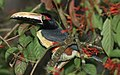 Pteroglossus-torquatus-001.jpg