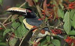 Pteroglossus-torquatus-001