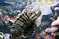 Pterois volitans 060417w.jpg