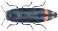 Ptosima chinensis Marseul, 1867.png
