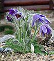 Pulsatilla grandis ssp. grandis - whole plant.jpg
