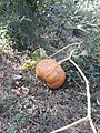 Pumpkin in Yeghvard, Armenia.jpg