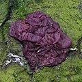 Purple-green colourcombination with not so common Ascotremella faginea (zakjestrilzwam) mushroom at Sonsbeek - panoramio.jpg